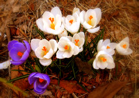 Crocuses - Newburyport, MA
