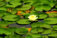 'Among the Lily Pads' - Patten's Pond - Amesbury