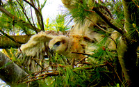 'Baby Red Tailed Hawk'