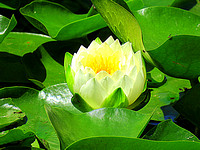 'Lily Pad Flower in Green'