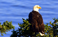 'The Eagle Has Landed' - Campobello island, Canada