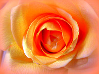 'Peach Colored Rose'